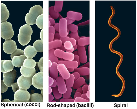 Bacteria information